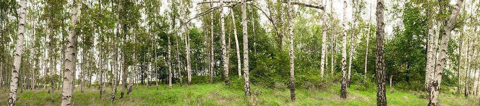 Birkenwald No. 14
