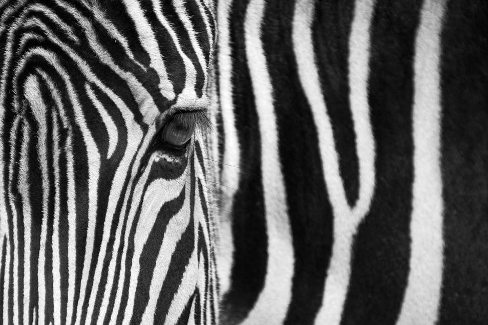 Zebra No. 03
