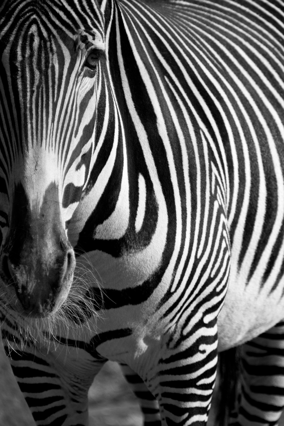 Zebra No. 02