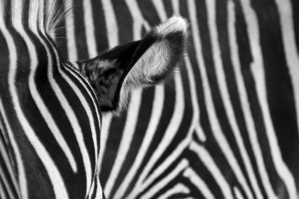 Zebra No. 01