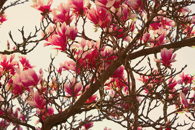 Baumblüten No. 19