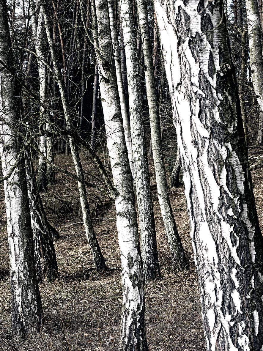 Birkenwald No. 04