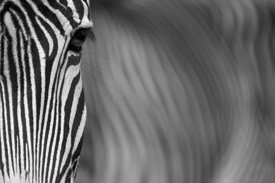 Zebra No. 08