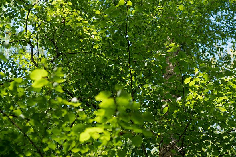 Blätterdach No. 12