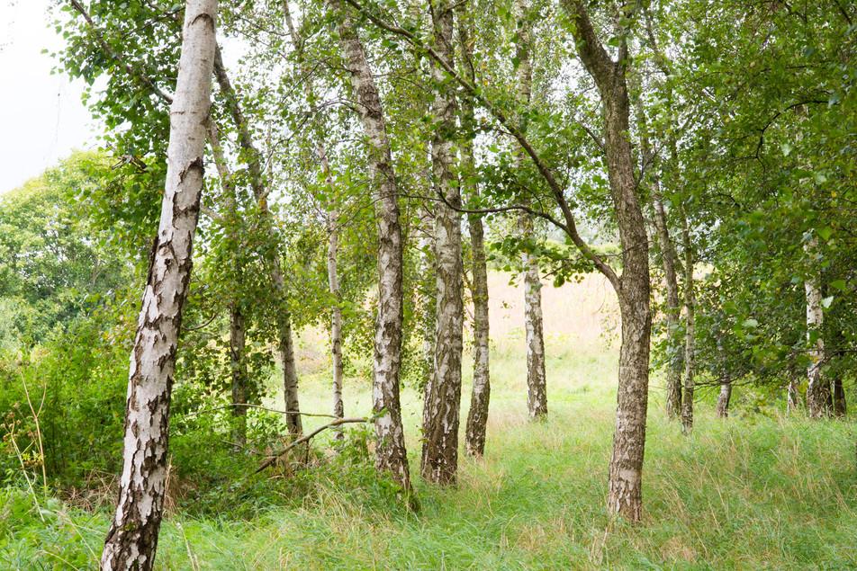 Birkenwald No. 15