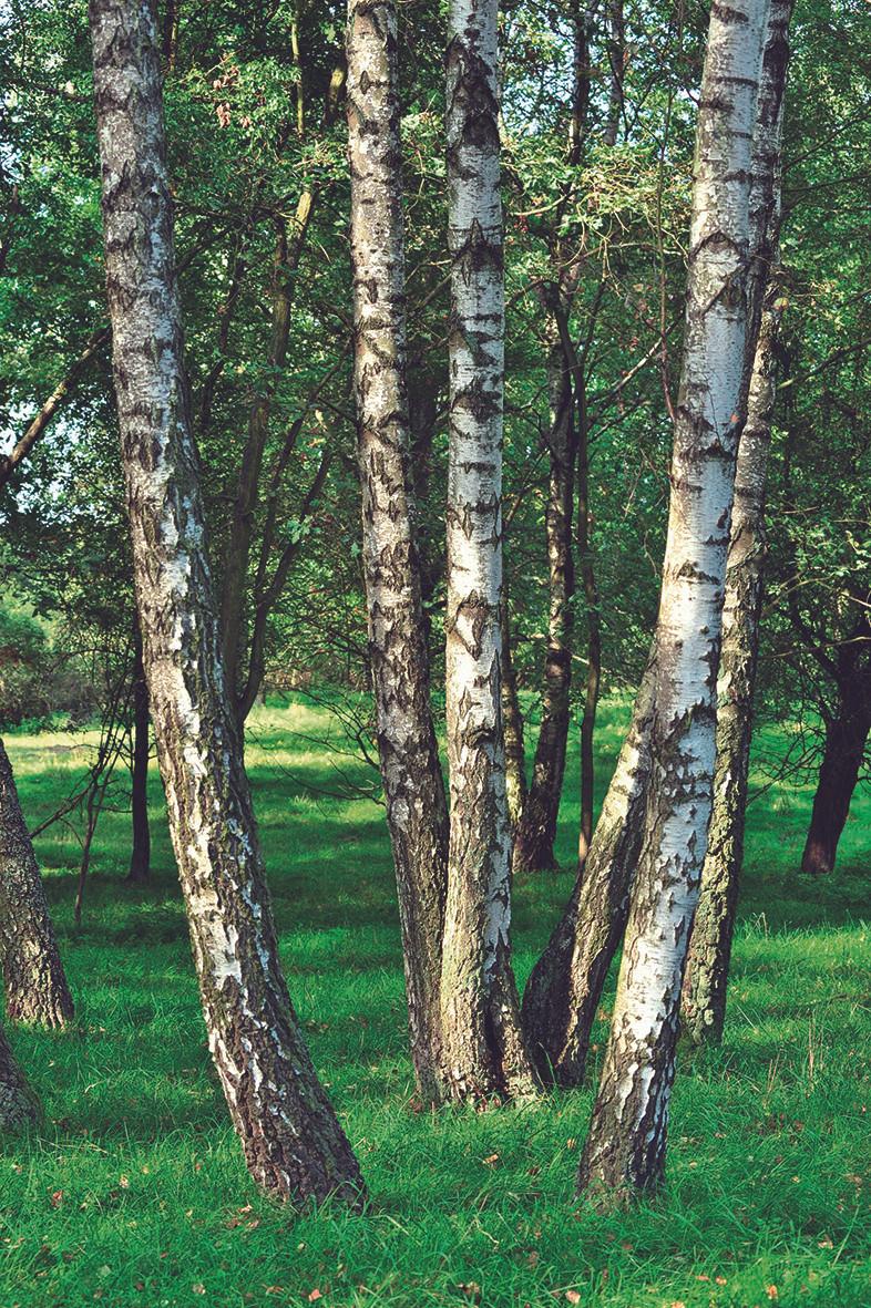 Birkenwald No. 05