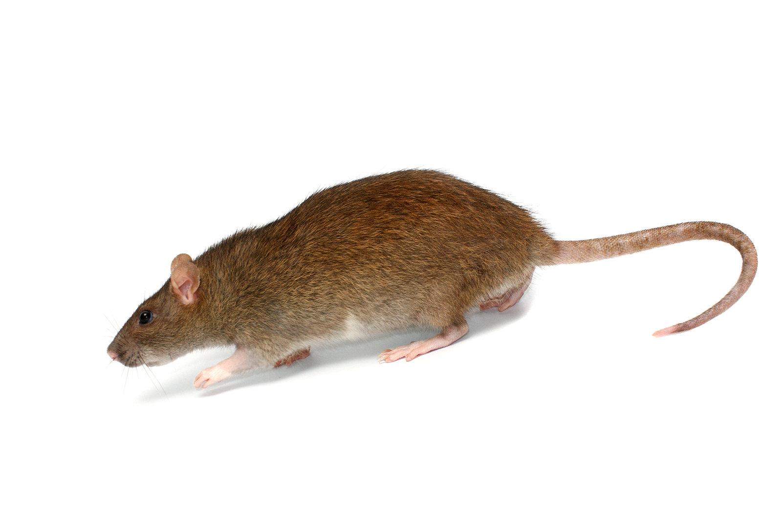 Rat Job