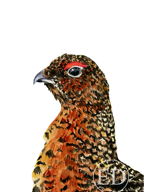 """Red Grouse"" Art Print A5"