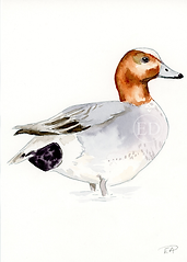 Widgeon.png