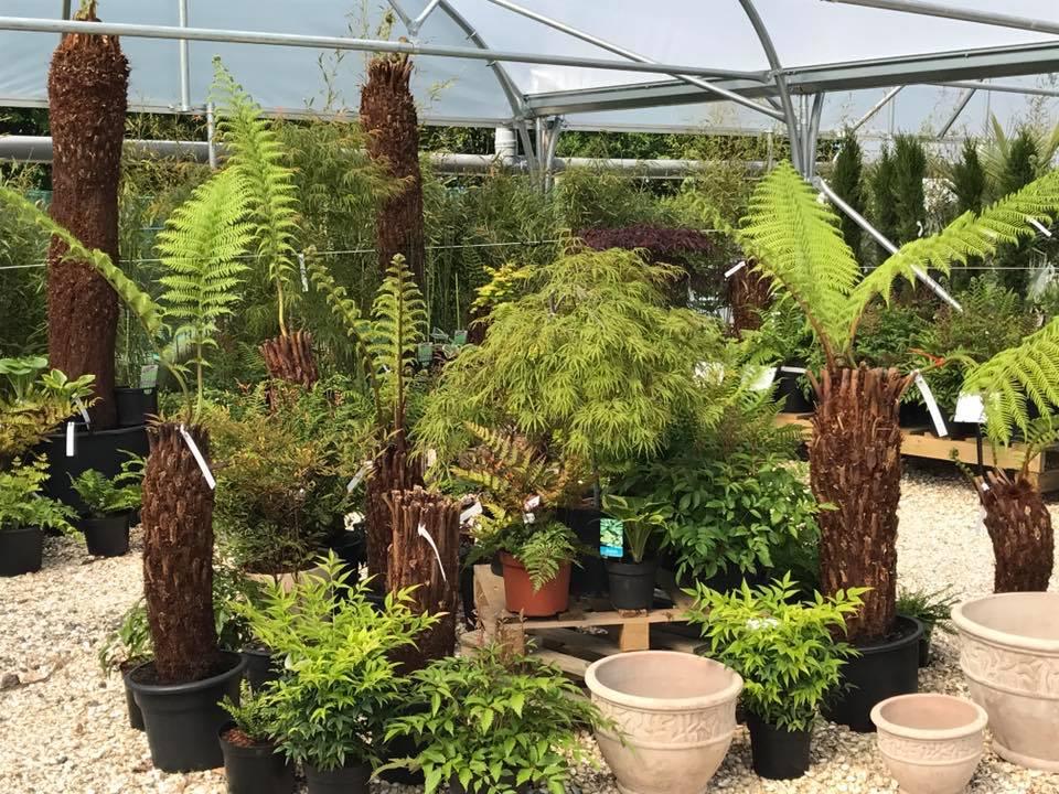 Tree ferns, ferns & Acers