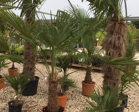 How do you like your Chusan Palm?