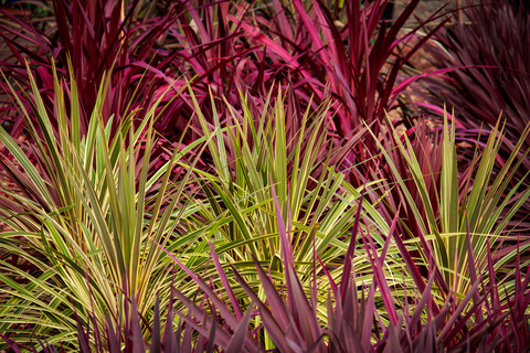 Cordyline – to prune or not to prune?