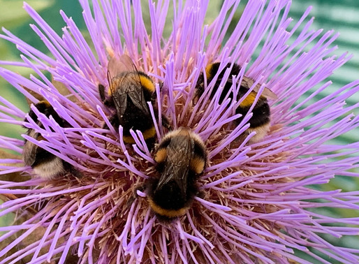 Busy bees enjoying the delights of our Cardoon flowers