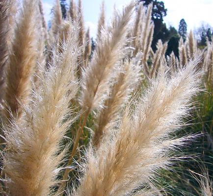 Cordaderia Grass.jpg