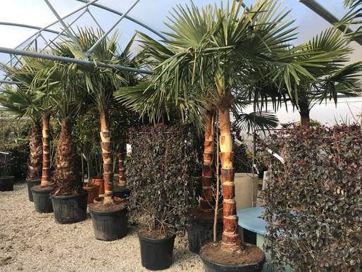 25% Off our beautiful stripped Chusan Palms
