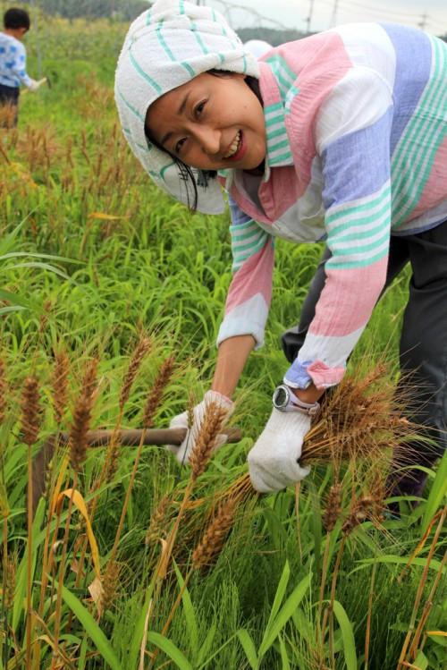 考藤麦刈り