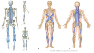 The Spiral Line of the body