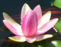 Fiorino loto_edited.jpg