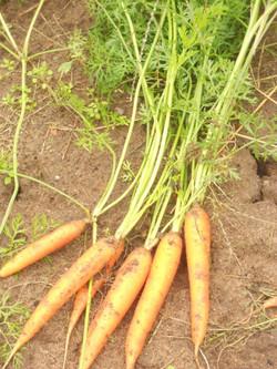 carottes vrac