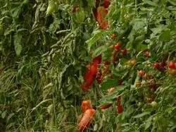 tomates cornues de Andes