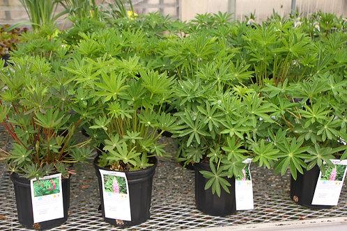 Lupine 6 inch Perennial