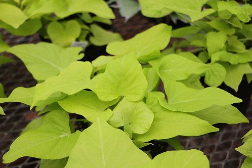 Sweet potato vine 4.5 inch