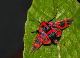 A rarely seen, spectacular moth.