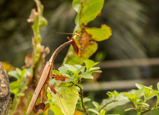 A rare and unusual mantis visits the garden.