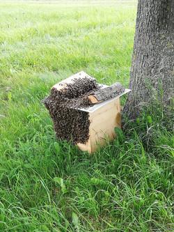 Bienenschwarm erfolgreich eingefangen
