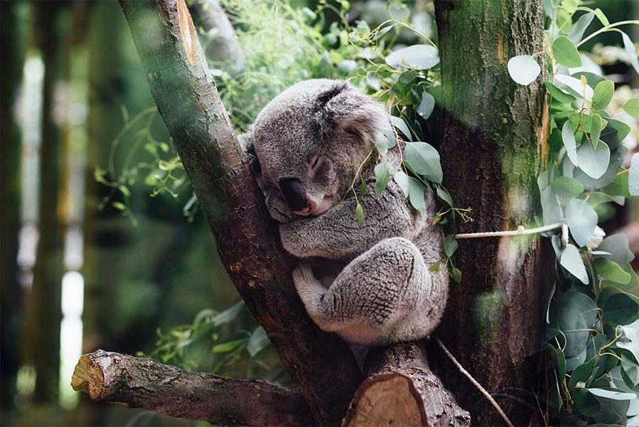 A cute sleeping koala on top of a tree