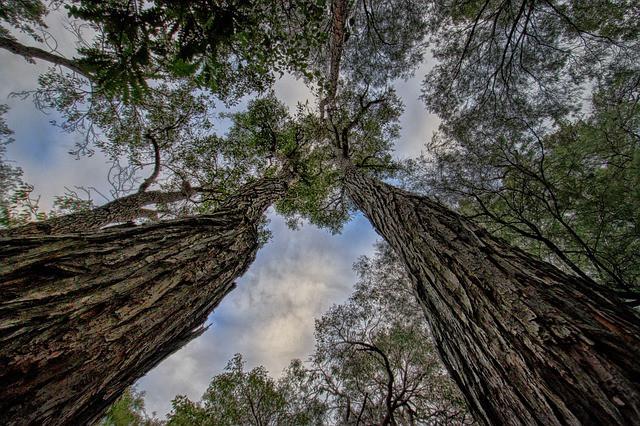 Tall Australian Jarrah Tree of Western Australia. Eucalyptus Marginata