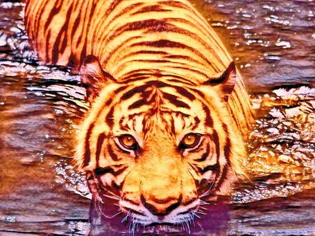 #TigerDay: Adopt a tiger on WWF