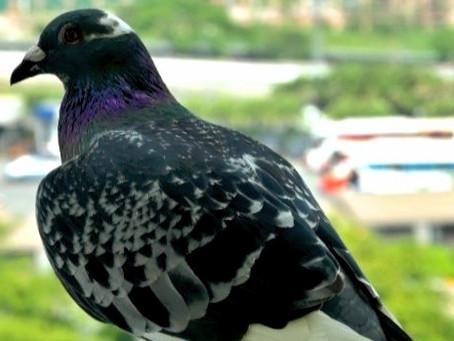 Fly free, my friend Peppa Pigeon