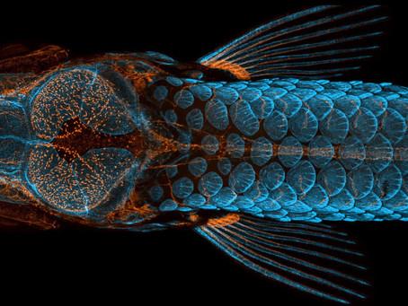 Photo of zebrafish wins top prize in Nikon microscopy competition
