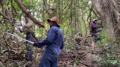 Clearing invasive weeds and vines which are smothering young rainforest during a regeneration project on a reforestation site in NSW