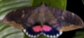 MothAdult.jpg