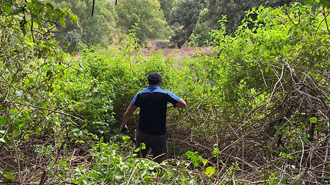 Clearing Lantana weed during bush regeneration on a reforestation site in NSW.