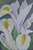 Biely iris 55x75cm