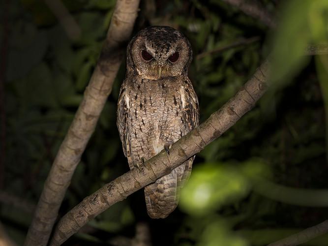 領角鴞 Collared Scops Owl
