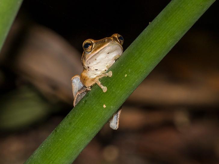 斑腿泛樹蛙 Brown Tree Frog