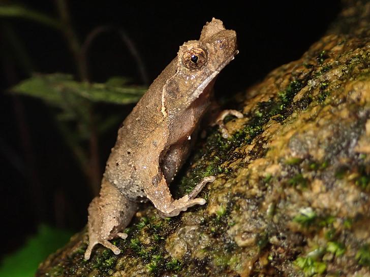 短腳角蟾 Short-legged Toad