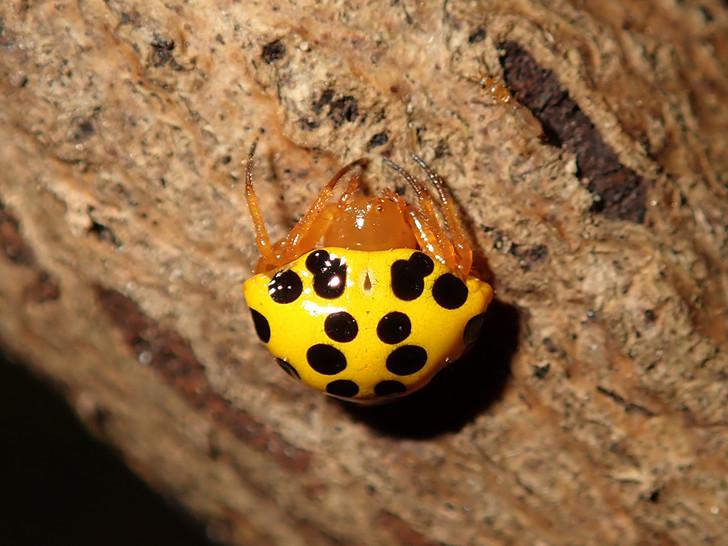 瓢蛛屬 Paraplectana sp.