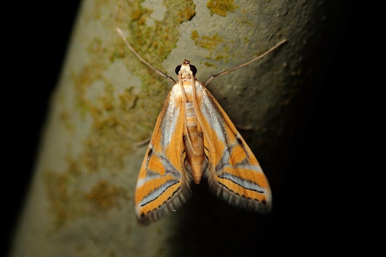 Genus Eoophyla.jpg