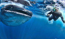 cozumel-whale-shark-tours