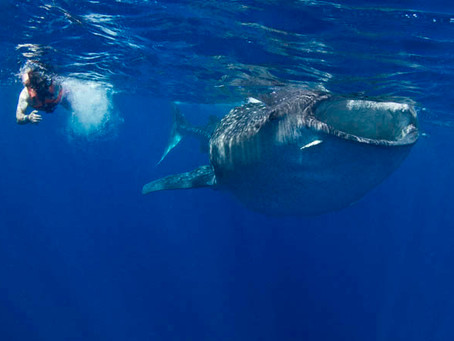 Whale Shark Tour Bucket List from Cozumel