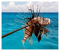 Cozumel Lion Fish Hunting