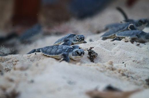 Cozumel Turtles Rescue