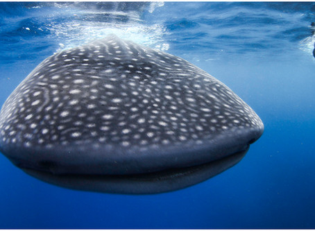 Whale Shark Tours from Cozumel, Cancun, Playa Del Carmen and Tulum