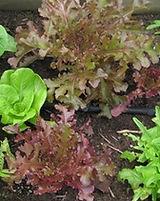 Oak Leaf Lettuce Garden for Website.jpg