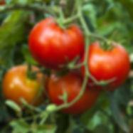 Tomato Cover Pic.jpg
